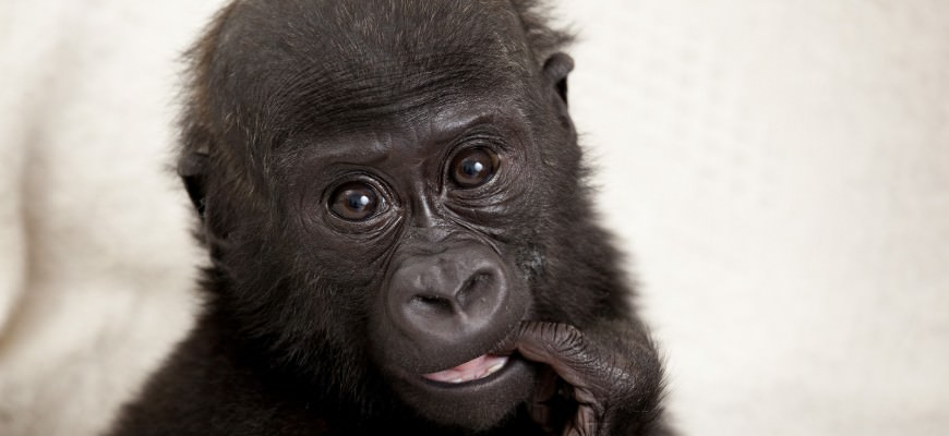 Baby gorilla Okanda travels with Stena Line to Europe