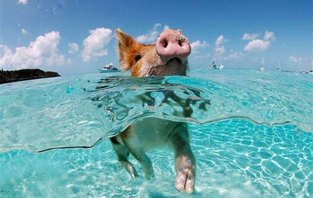 Pigs might swim
